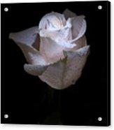 Fresh White Rose Acrylic Print