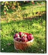 Freshly Picked Apples In The Orchard  Acrylic Print