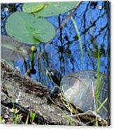 Freshwater Turtle Sunning Acrylic Print