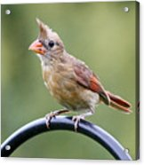Friendly Female Cardinal  Acrylic Print