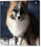Friendly Fox Acrylic Print