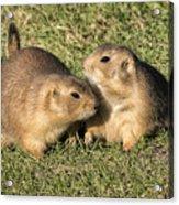 Friendly Prairie Dogs Acrylic Print