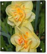 Friendship Daffodils Acrylic Print
