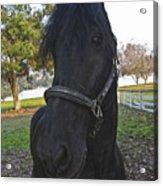 Friesian Horse Head Acrylic Print