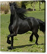 Friesian Horse In Galop Acrylic Print by Michael Mogensen