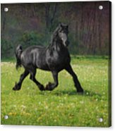 Friesian Power Acrylic Print