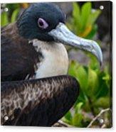 Frigate Bird In Nature Acrylic Print