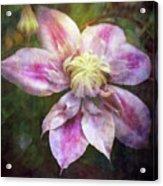 Frilled Clematis 1201 Idp_2 Acrylic Print