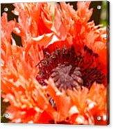 Frilly Poppy Acrylic Print