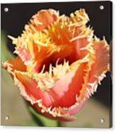 Fringed Tulip Acrylic Print