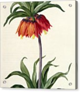 Fritillaria Imperialis Acrylic Print