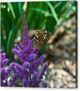 Fritllary Butterfly On Astilbe Acrylic Print