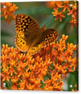 Frittalary And Milkweed Acrylic Print