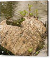 Frog 1 Acrylic Print