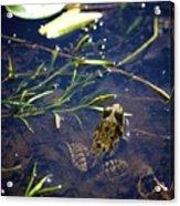 Frog 5 Acrylic Print