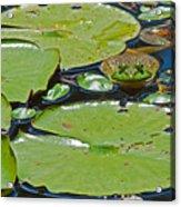 Frog Amongst The Lilypads Acrylic Print