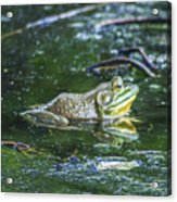 Frog In A Pond Acrylic Print