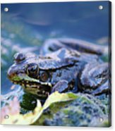Frog In Water Acrylic Print