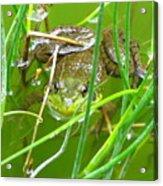 Frog Playing Hide N Seek Acrylic Print
