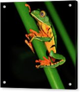 Frog Pole Vault  Acrylic Print