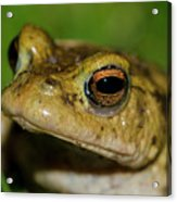 Frog Posing Acrylic Print