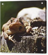 Frog Stump Acrylic Print