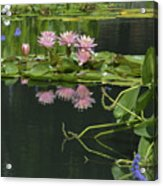 Water Lily Reflections Acrylic Print