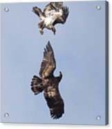 Frolicking Eagles Acrylic Print