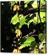 From Behind The Grapevine Acrylic Print