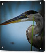 From The Series Great Blue Number 6 Acrylic Print