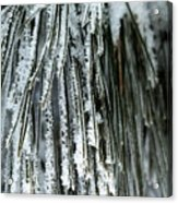 Frost Covered Pine Needles IIi Acrylic Print