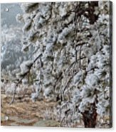 Frost-covered Pine Acrylic Print