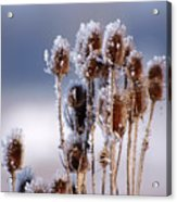 Frost In The Morning Acrylic Print