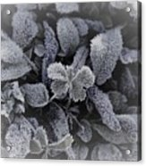 Frost On Leaves 1 Acrylic Print