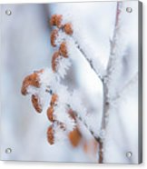 Frost On Pine Cones Acrylic Print