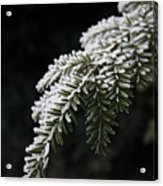 Frost On Pine Acrylic Print
