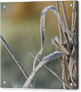 Frost On The Stems Acrylic Print