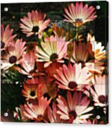 Frosted African Daisies Acrylic Print