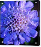 Frosted Blue Pincushion Flower Acrylic Print