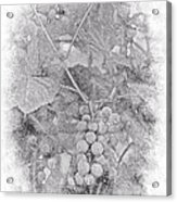 Frosted Grapes Vignette Acrylic Print