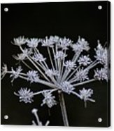 Frosted Hogweed Acrylic Print