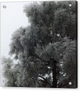 Frosted Pine Acrylic Print