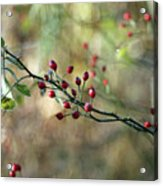 Frosted Red Berries And Green Leaves  Acrylic Print
