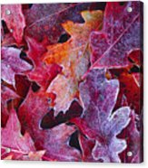 Frosted Red Oak Leaves Acrylic Print