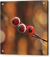 Frosted Rose Hips Acrylic Print