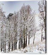 Frosty Aspen Trees Acrylic Print