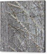 Frosty Birch Tree Acrylic Print