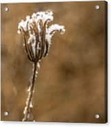 Frosty Flower Remains Acrylic Print