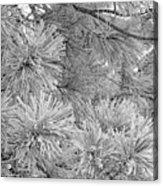 Frosty Pine Tree Acrylic Print