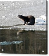 Frosty River Otter  Acrylic Print